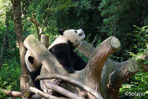 木の上でじゃれあう子供パンダ