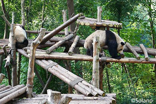 成都パンダ基地、木のジャングルジムで遊ぶパンダ