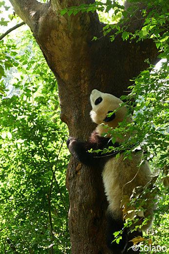 木登りをする子供パンダ