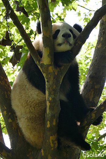 お気に入りの昼寝スポットで寝るパンダ
