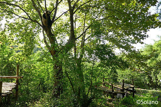 成都、木の上でひとりくつろぐパンダ