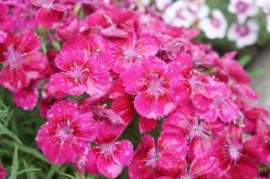 雨の日の花1