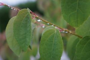 カツラの葉21