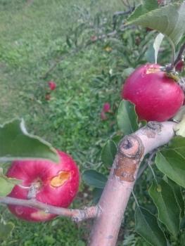 畑しごと紅玉の葉摘み