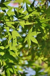 Maple Leaces