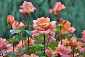 Pink Panther (Rose)