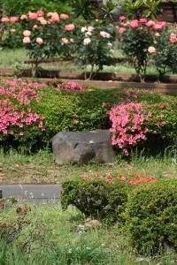 Azaleas and Roses