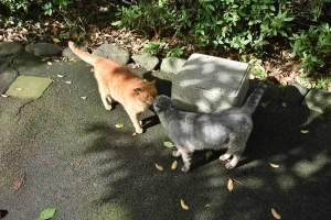 Cat Duo - Chato and Gure