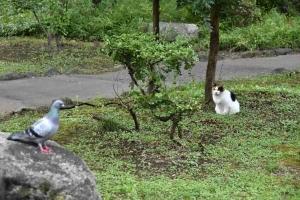 Pigeon and Sakura-chan The Cat