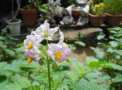 20170617ジャガイモの花