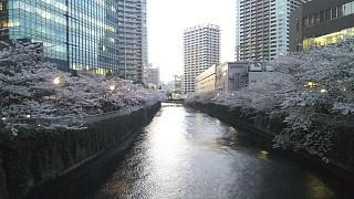 20170407目黒川(その2)