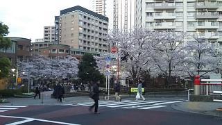 20170407目黒川(その3)