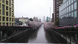 20170409目黒川(その1)