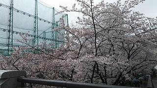 20170409目黒川の花(その2)