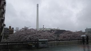 20170409目黒川の花(その3)
