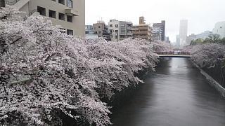 20170409目黒川の花(その7)