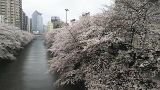 20170409目黒川の花(その10)