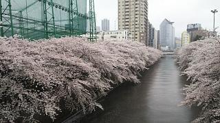 20170409目黒川の花(その11)