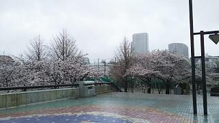 20170409目黒川の花(その13)