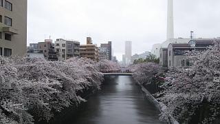 20170409目黒川の花(その14)