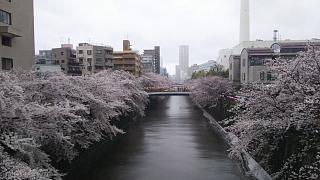 20170409目黒川の花(その15)