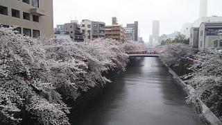 20170409目黒川の花(その17)