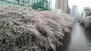 20170409目黒川の花(その21)