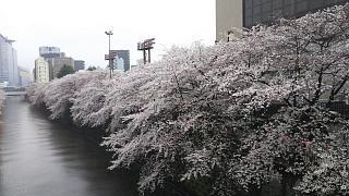 20170409目黒川の花(その22)