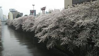 20170409目黒川の花(その25)