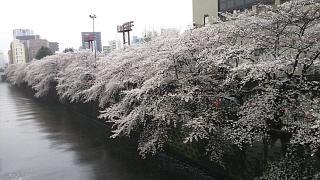 20170409目黒川の花(その26)
