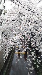 20170409目黒川の花(その28)