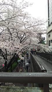 20170409目黒川の花(その29)