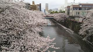 20170409目黒川の花(その33)