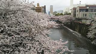 20170409目黒川の花(その34)
