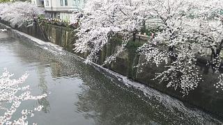 20170409目黒川の花(その35)