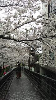 20170409目黒川の花(その36)