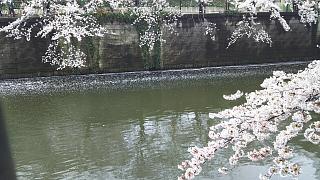20170409目黒川の花(その38)