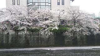 20170409目黒川の花(その42)