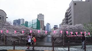 20170409目黒川の花(その45)