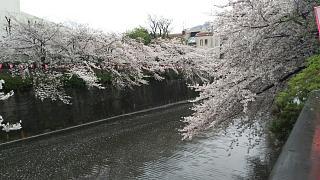 20170409目黒川の花(その46)