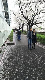 20170409目黒川の花(その50)