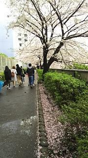 20170409目黒川の花(その51)