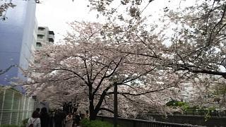 20170409目黒川の花(その52)