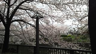 20170409目黒川の花(その53)