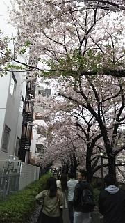 20170409目黒川の花(その56)