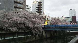 20170409目黒川の花(その62)