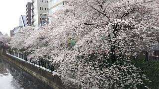 20170409目黒川の花(その66)