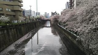 20170409目黒川の花(その67)