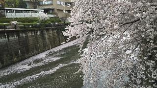 20170409目黒川の花(その69)