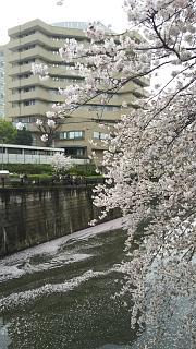 20170409目黒川の花(その70)